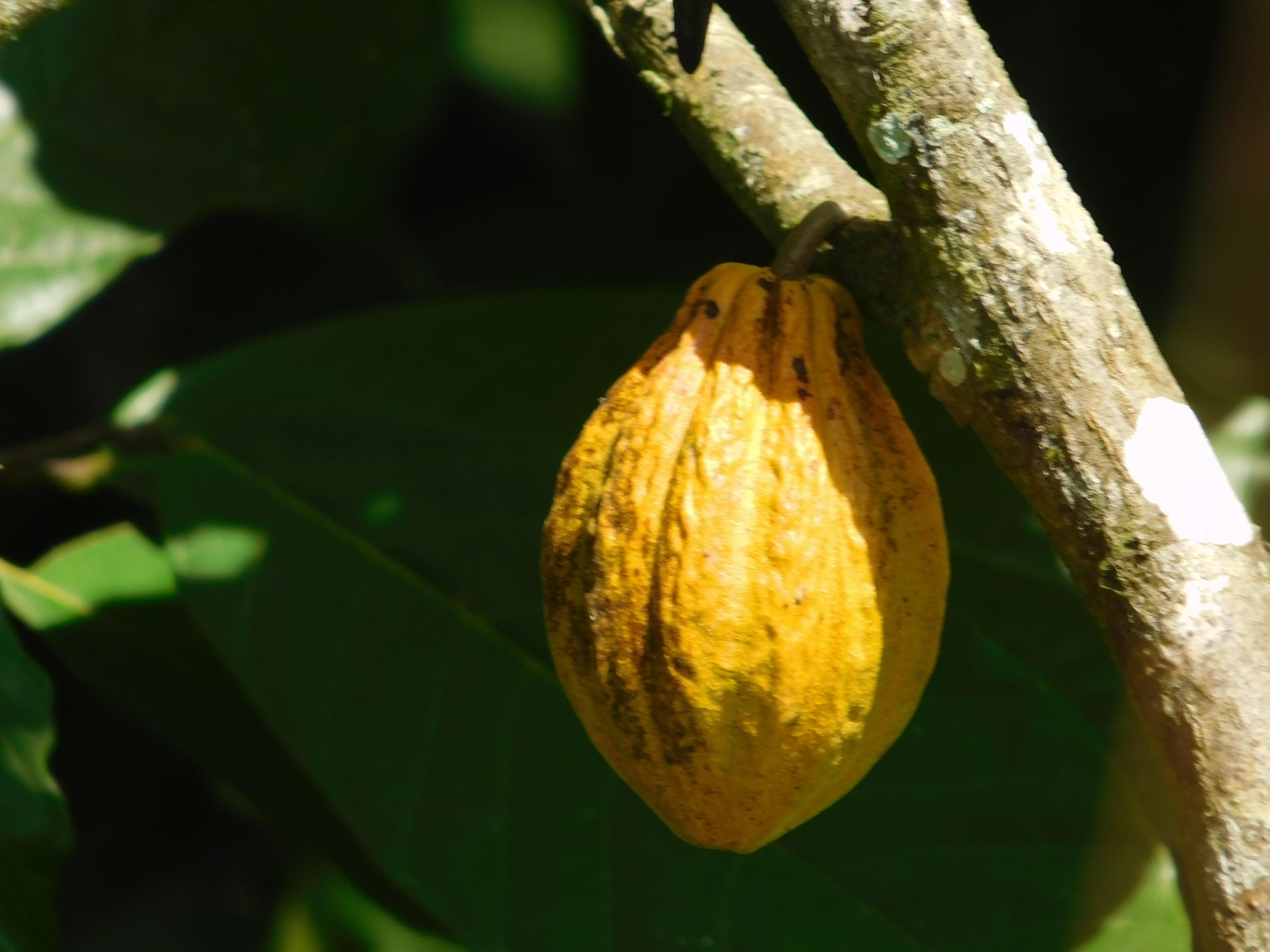 Productores de cacao orgánico reclaman US$633 mil a empresa suiza