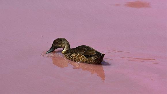 (Fotos): Un lago de Australia, color rosa de forma natural