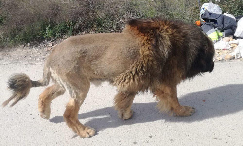 Foto | Alertan por la presencia en España de un león que resulta ser lo que no esperaban