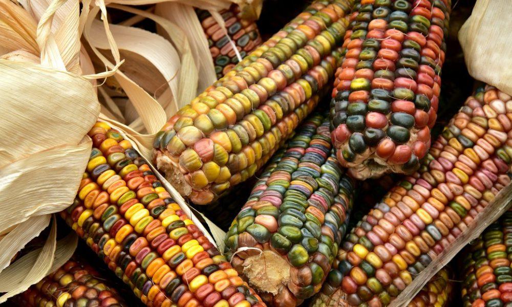 Investigadores documentan las primeras evidencias del uso del maíz como grano básico entre las sociedades mesoamericanas