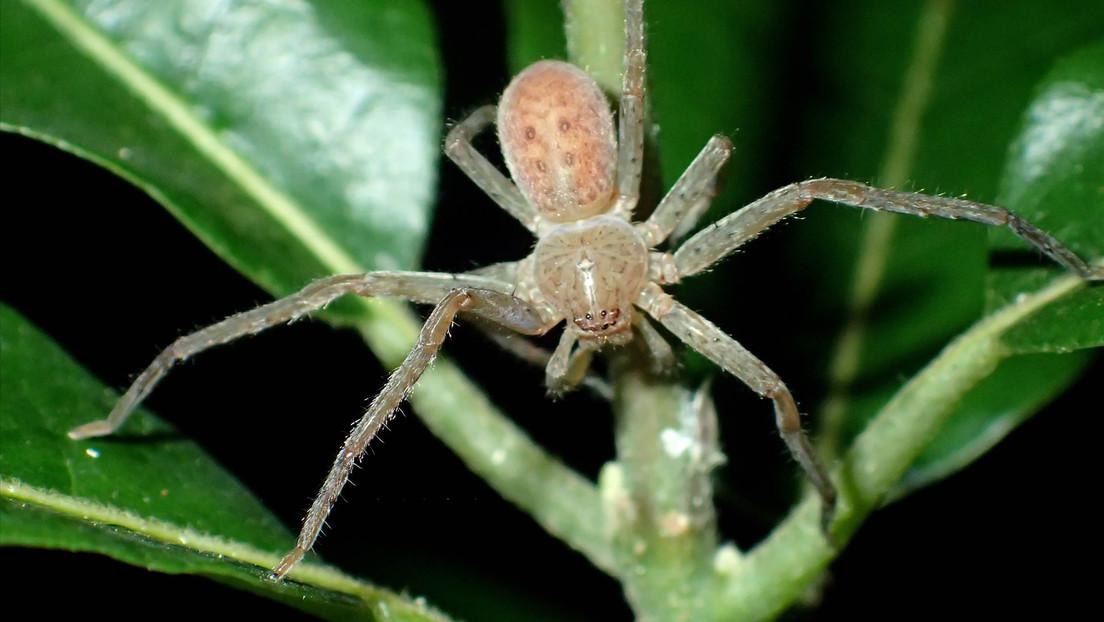 Dan el nombre de Greta Thunberg a un nuevo grupo de arañas de Madagascar