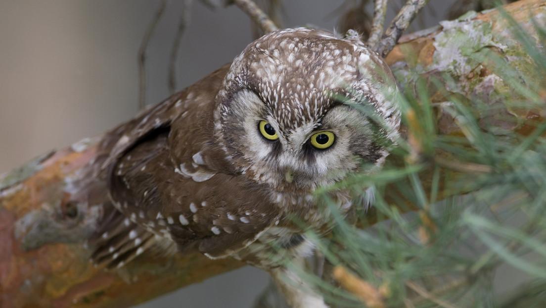 Una lechuza se camufla tan bien en un árbol que para encontrarla hay que forzar la vista al máximo