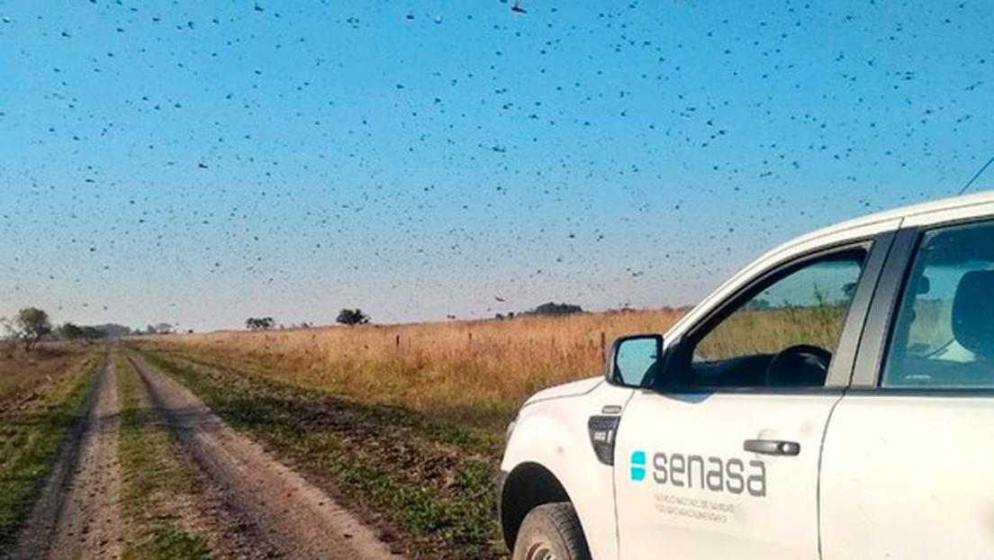 Brasil declara la emergencia fitosanitaria en dos estados ante la posible llegada de una plaga de langostas