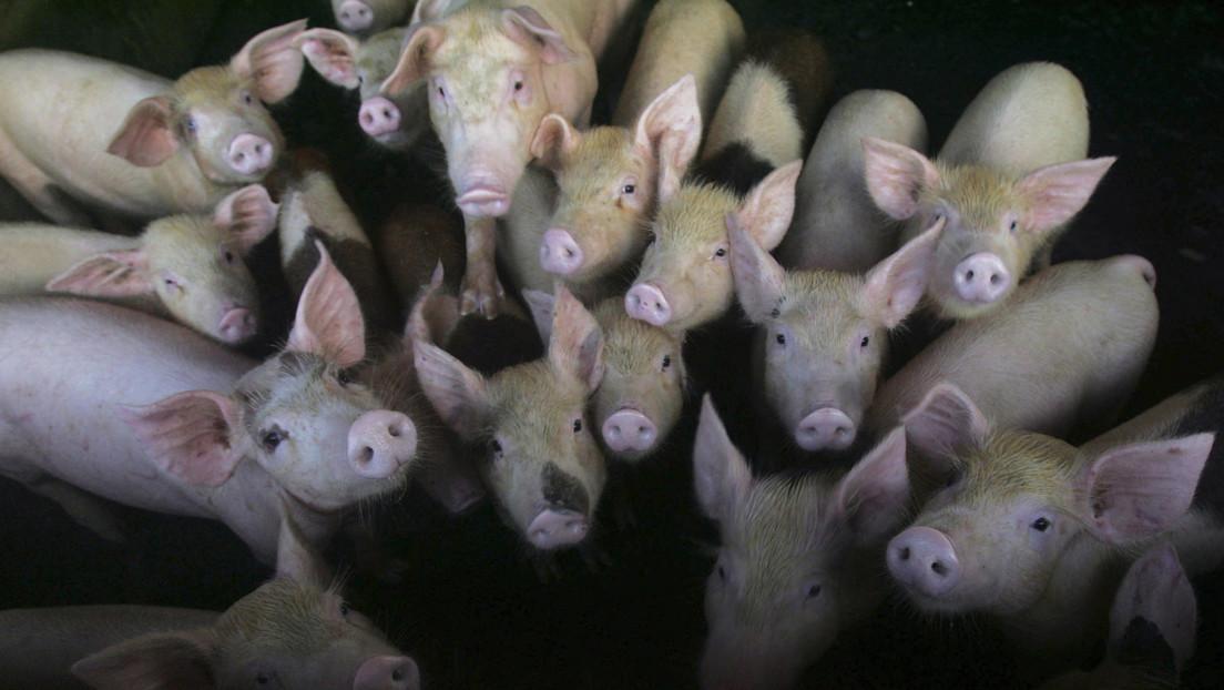 Una nueva cepa de gripe porcina con el potencial de convertirse en pandemia, descubierta en China