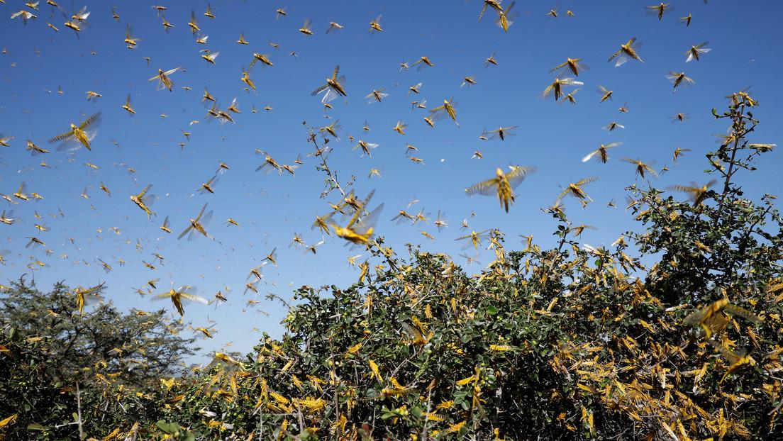 Video   Una plaga de langostas invade el sur de China tras cruzar la frontera con Laos