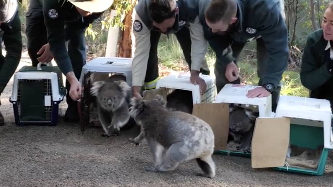Video | Llevan de vuelta al bosque a los koalas que fueron evacuados por los devastadores incendios en Australia