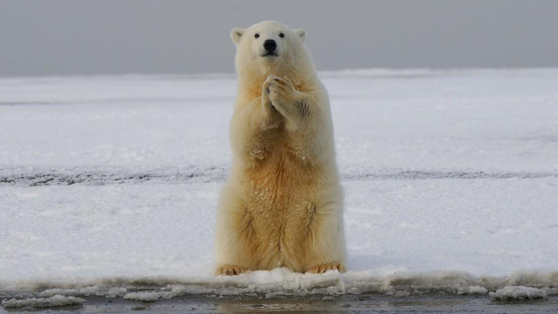 Casi todos los osos polares podrían desaparecer antes de 2100