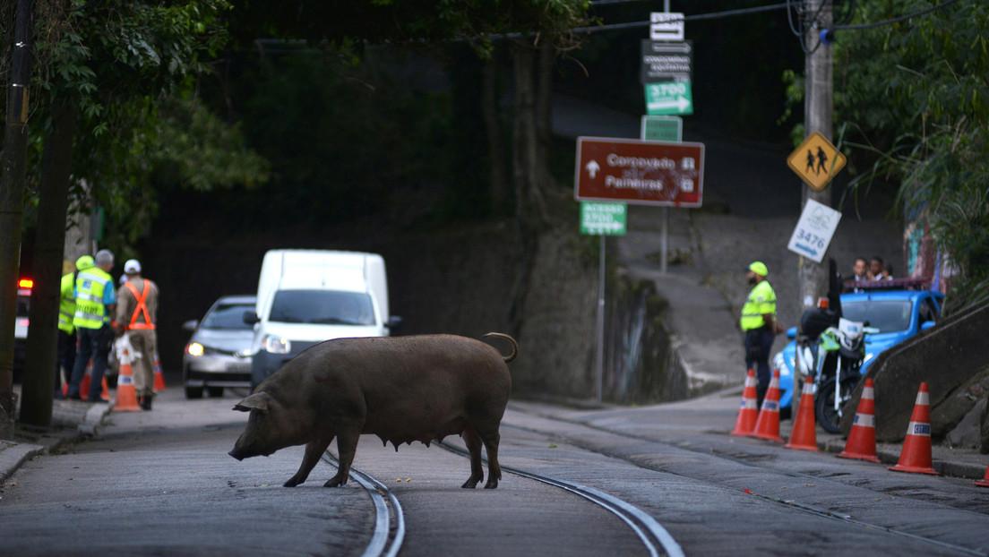 Una nueva gripe porcina con potencial de convertirse en pandemia pone en alerta a Brasil