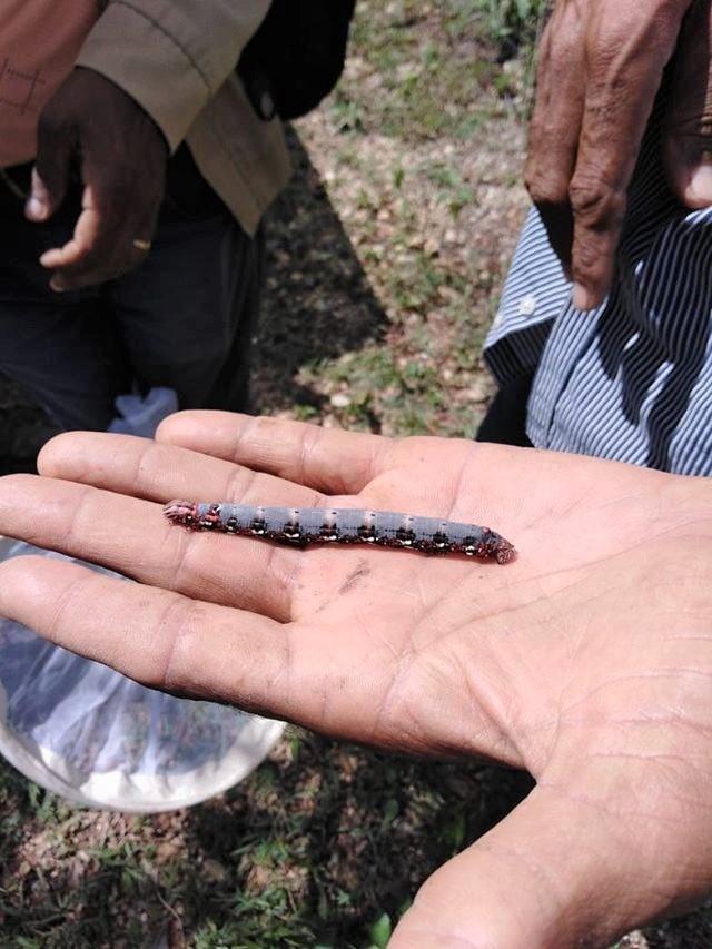 Agricultura determina gusano no afecta cultivos de producción alimentaria en municipio Ramón Santana