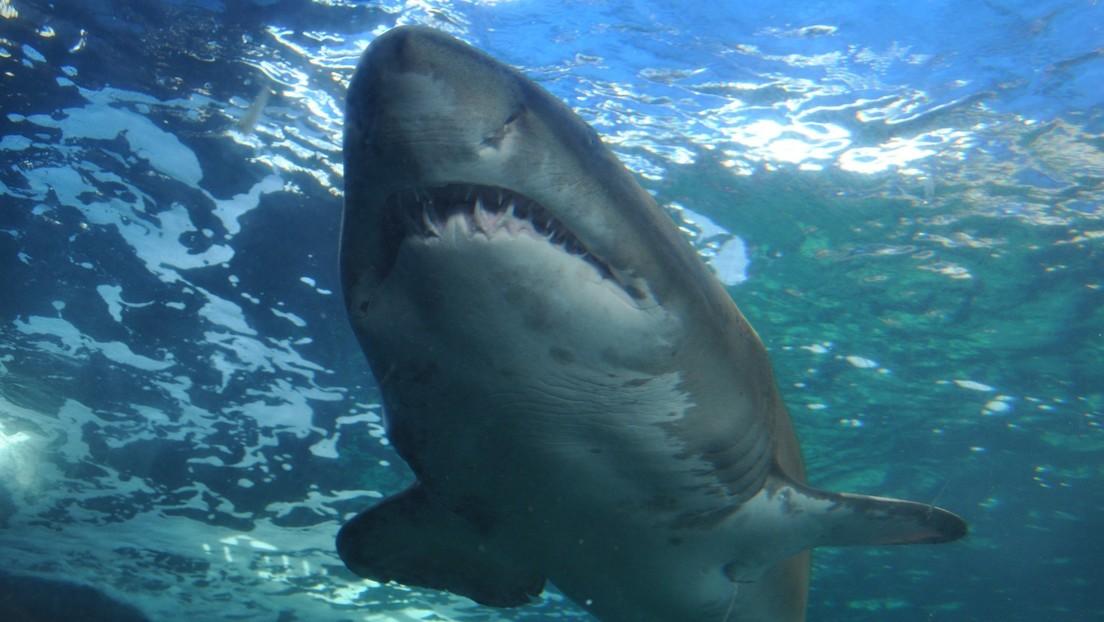 Fotos |  Un surfista atacado por un tiburón de 5 metros sobrevive dándole puñetazos en la cabeza y metiéndole su tabla en la boca