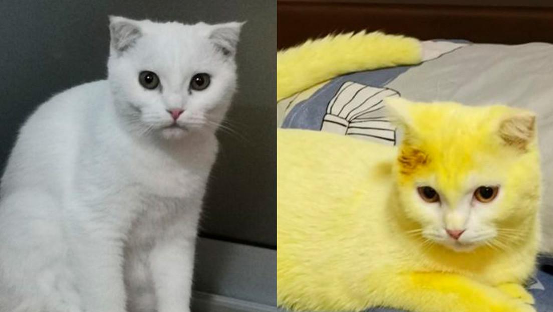 Trata a su gato con cúrcuma para aliviar una infección y el resultado es inesperado