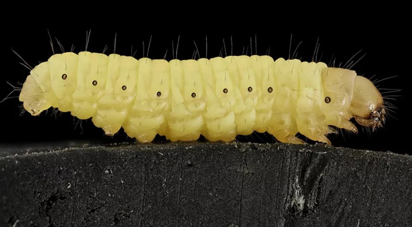¿Podría el gusano de la cera acabar con el problema de los plásticos?