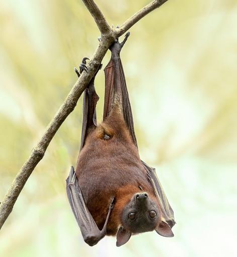 Rastrean origen de coronavirus en murciélagos en Tailandia