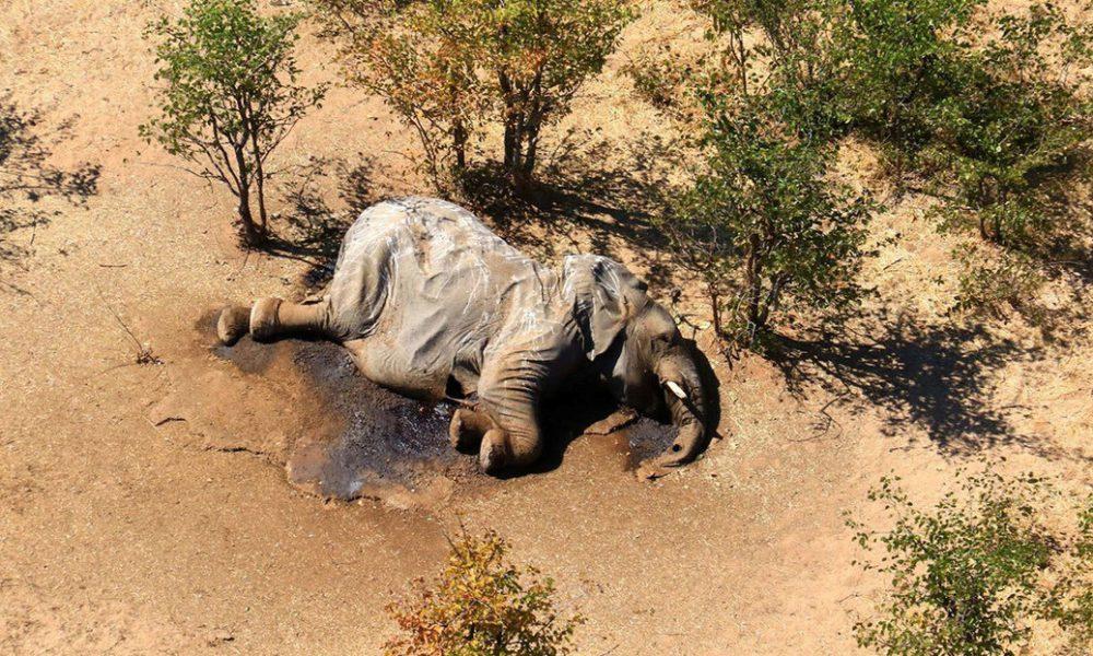 Descubren al 'culpable' de la muerte de cientos de elefantes en circunstancias misteriosas en Botsuana