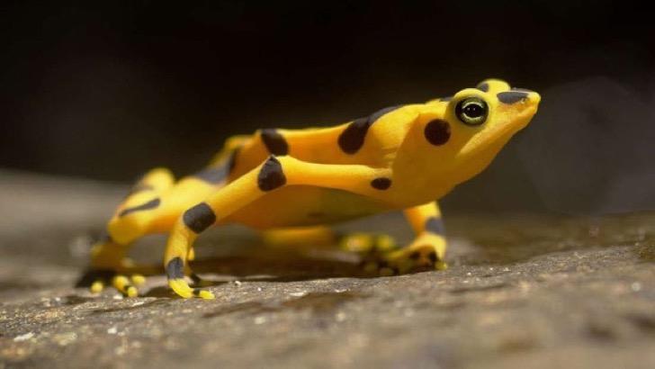"""Devastador """"superhongo"""" amenaza con arrasar a los anfibios en Panamá"""