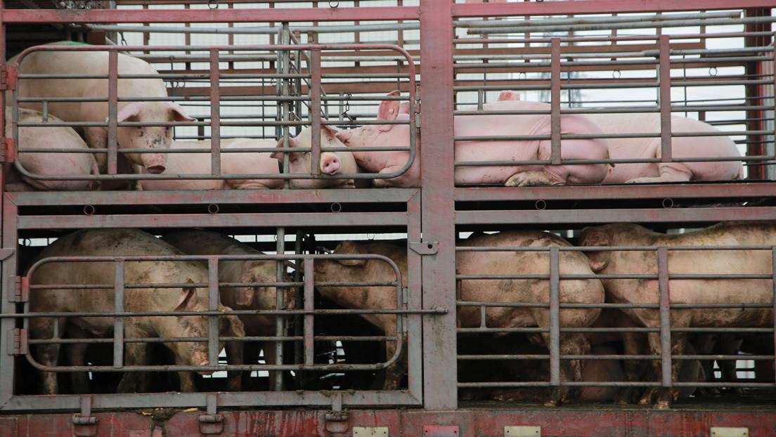 Un camión cargado de cerdos volcó en Argentina y la gente degolló a los animales en plena calle para llevárselos