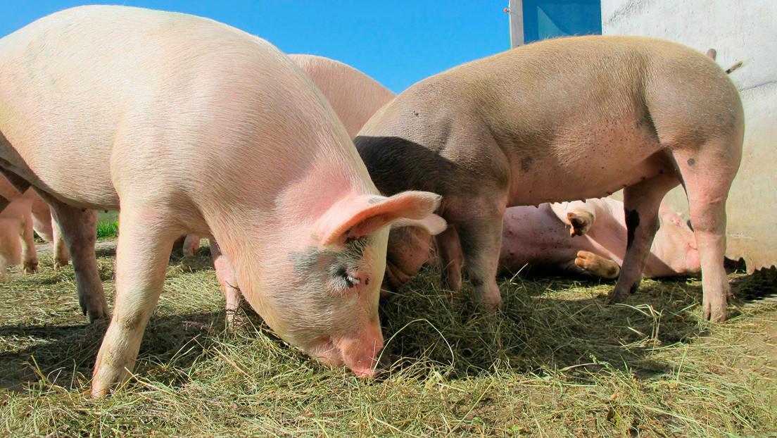 Trasplantes de corazón de cerdo a humano podrían ser realidad en 2021