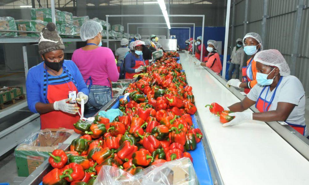 Productores de Ocoa exportarán cuatro millones libras de pimiento morrón
