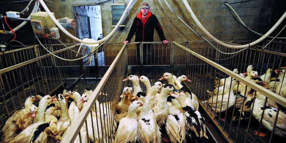 Sacrifican a más de 200.000 patos en Francia por brote de gripe aviar