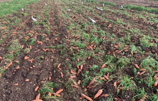 Productores agrícolas de Constanza se quejan por importaciones de papa, cebolla y zanahoria