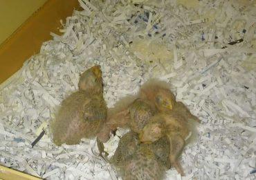 Llevan al Zoológico Nacional cuatro pichones de pericos de la Hispaniola vivos y dos muertos