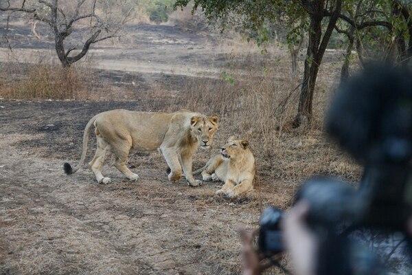 La enfermedad de Carré amenaza a las últimas manadas de leones asiáticos