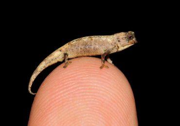 Descubren el reptil más pequeño del mundo, cabe en la punta de un dedo