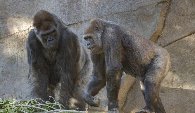 Primates de un zoológico de EEUU son vacunados contra el Covid-19