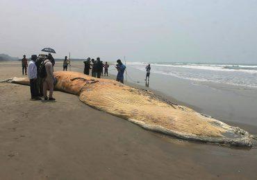 Cadáveres de dos ballenas encallados en una playa de Bangladés