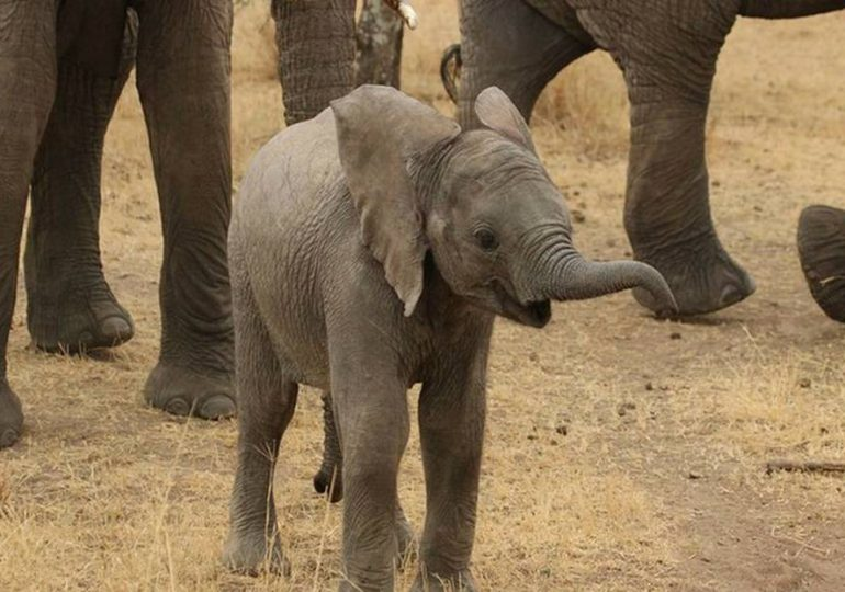 Rechazada por su manada, muere una cría de elefante en un zoo de Suecia