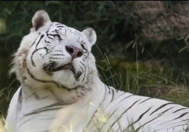 Argentina envía dos tigres blancos a santuario en EEUU