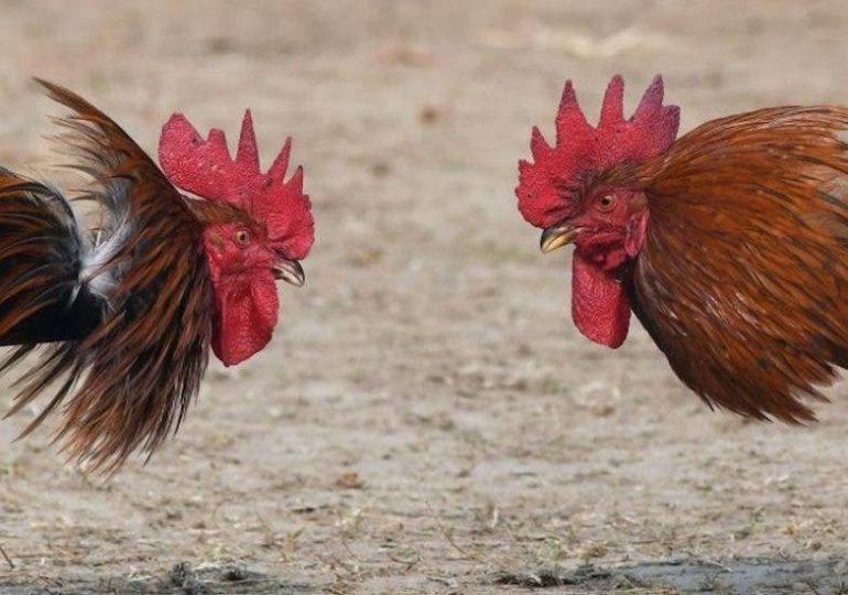 Peleas de gallos se reanudan este fin de semana con apertura de coliseos