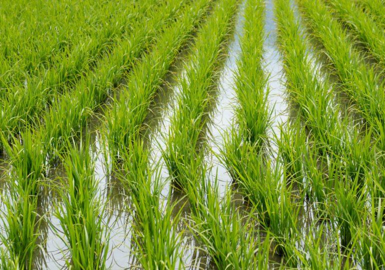 Observatorio del Agua garantiza riego para siembra de arroz en el Yaque del Norte