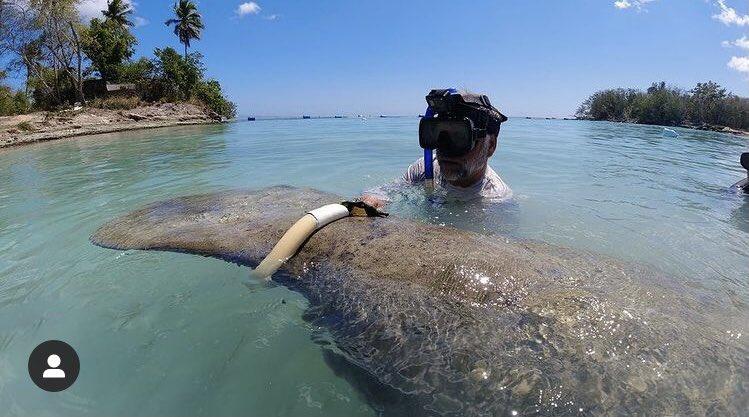 Medio ambiente coloca cinturones para rastrear a manatíes Pepe, Lupita y Juanita