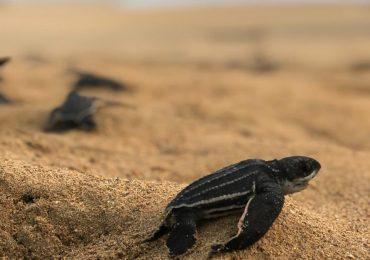 Eclosiona primer nido de tortuga tinglar de la temporada 2021 en Playa Esmeralda