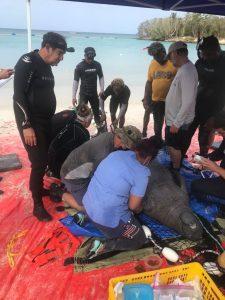Medio Ambiente inicia etapa final para liberar en mar abierto a tres manatíes