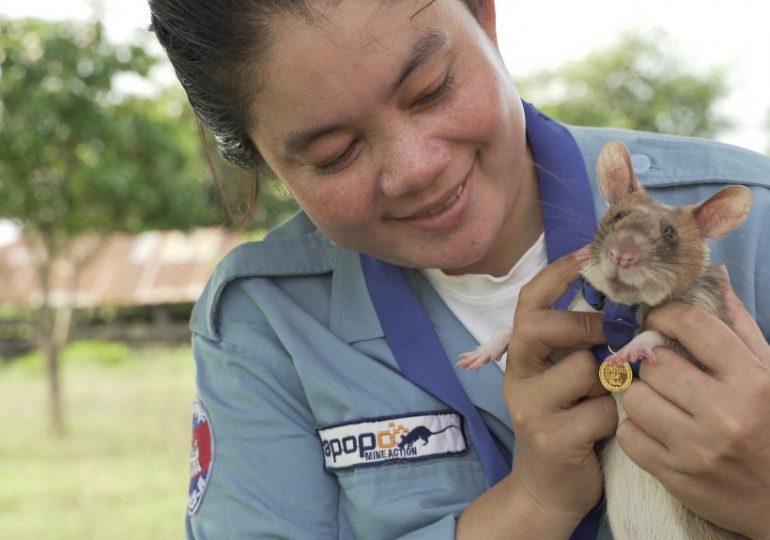 Rata experta en detectar minas se 'jubila' en Camboya tras cinco años de servicio