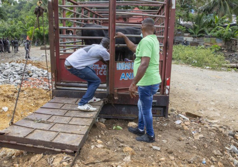 Procuraduría de Medio Ambiente retira vacas y cerdos criados sin control en Arroyo Hondo
