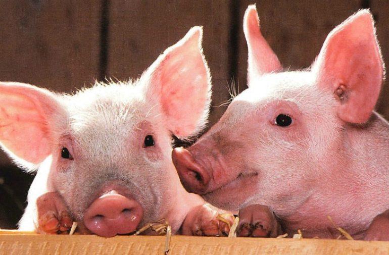 Gobierno confirma presencia de fiebre porcina africana en RD