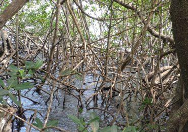 En el Día de los Manglares, Medio Ambiente exhorta a cuidar estos ecosistemas por sus beneficios para el país