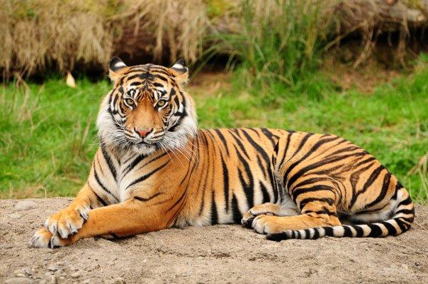 Hoy se celebra Día Internacional del Tigre: 10 datos curiosos sobre este gran felino