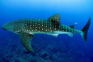 30 de agosto: Día Internacional del Tiburón Ballena