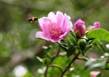 Lanzan proyecto para conservar y expandir la Rosa de Bayahíbe, flor nacional