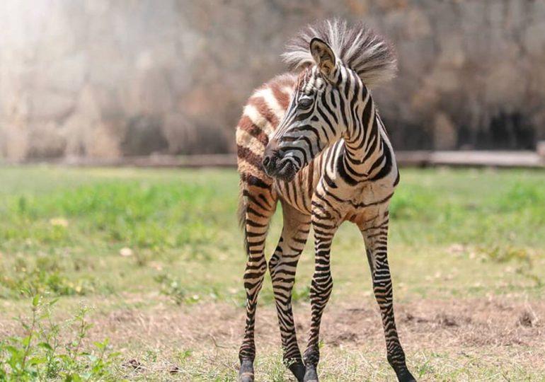 Parque Zoológico Nacional anuncia nacimiento de bebé cebra