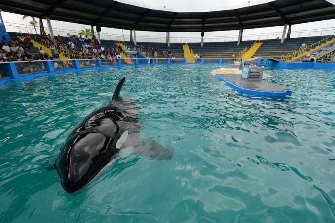 Activistas contra el maltrato animal piden liberar en Miami a la orca Lolita