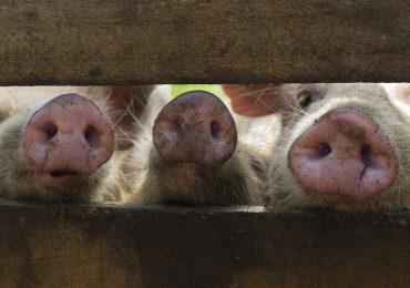 VIDEO | Peste porcina africana en Monte Plata, Espaillat y SPM, asciende a 14 provincias con focos