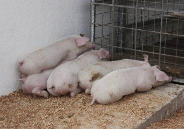 Agricultura exhorta a porcicultores buscar alternativas de producción hasta erradicar peste porcina