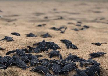 Medio Ambiente registra 141 nidos de tortugas